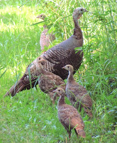 Wild Turkey Hens with chicks (d. gordon & e. robertson)