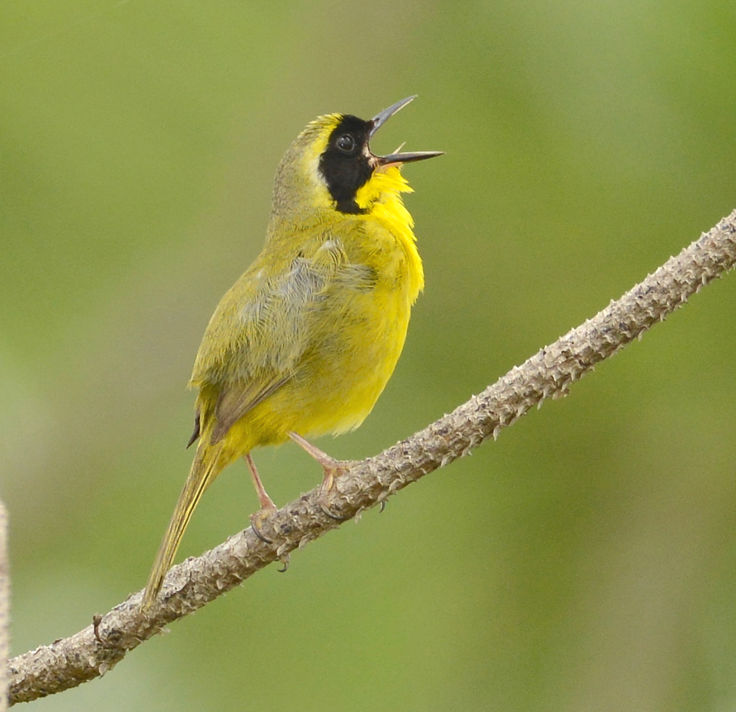Bahama Yellowthroat, Abaco Bahamas (Tom Sheley)