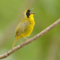 BAHAMA YELLOWTHROAT: A PHOTOGENIC ENDEMIC