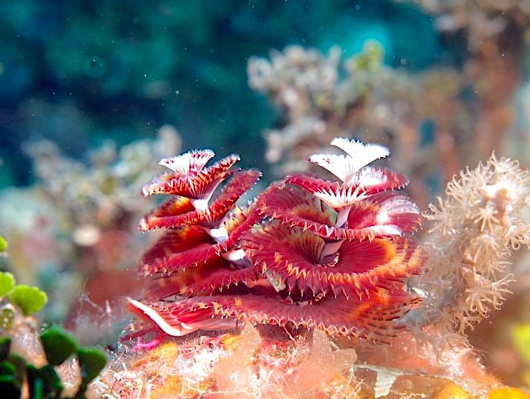 Christmas Tree Worm (Melinda Riger / Grand Bahama Scuba)