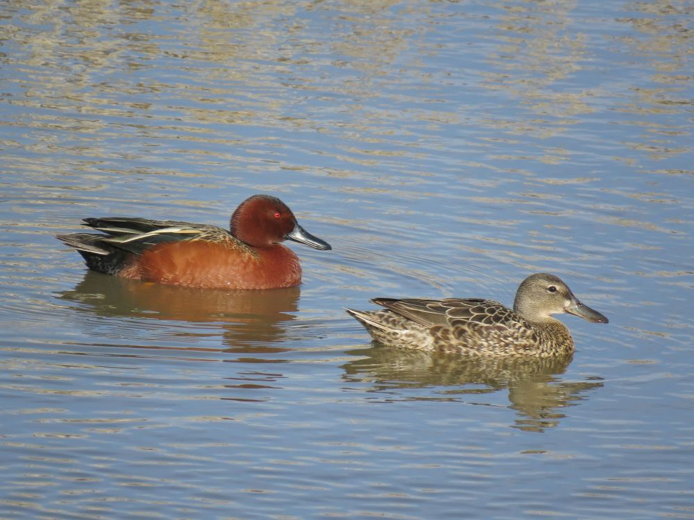 Cinnamon Teal pair(andeansolitaire wiki)