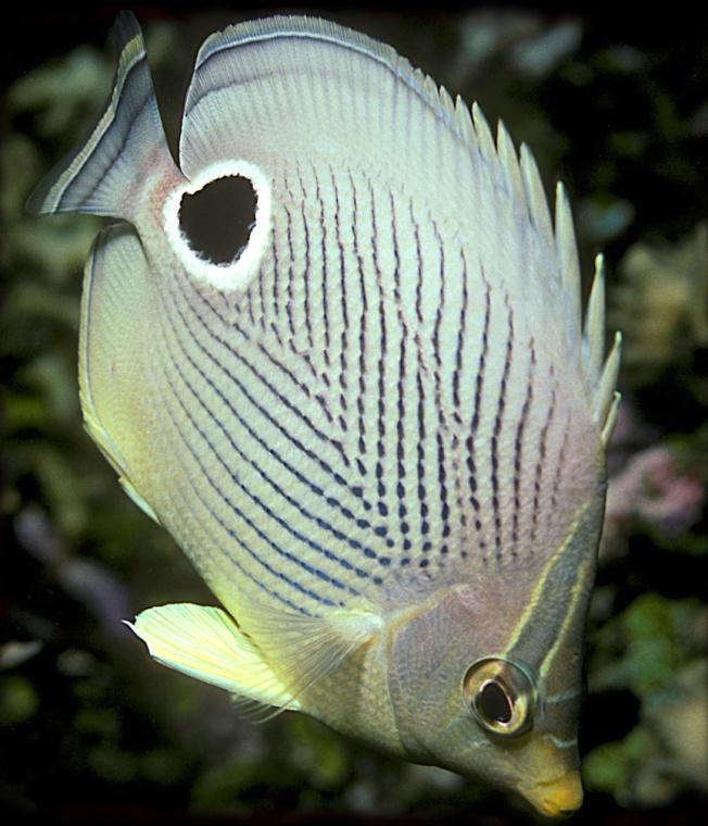 Four-eyed Butterflyfish, Bahamas (Lazlo Ilyes wiki)