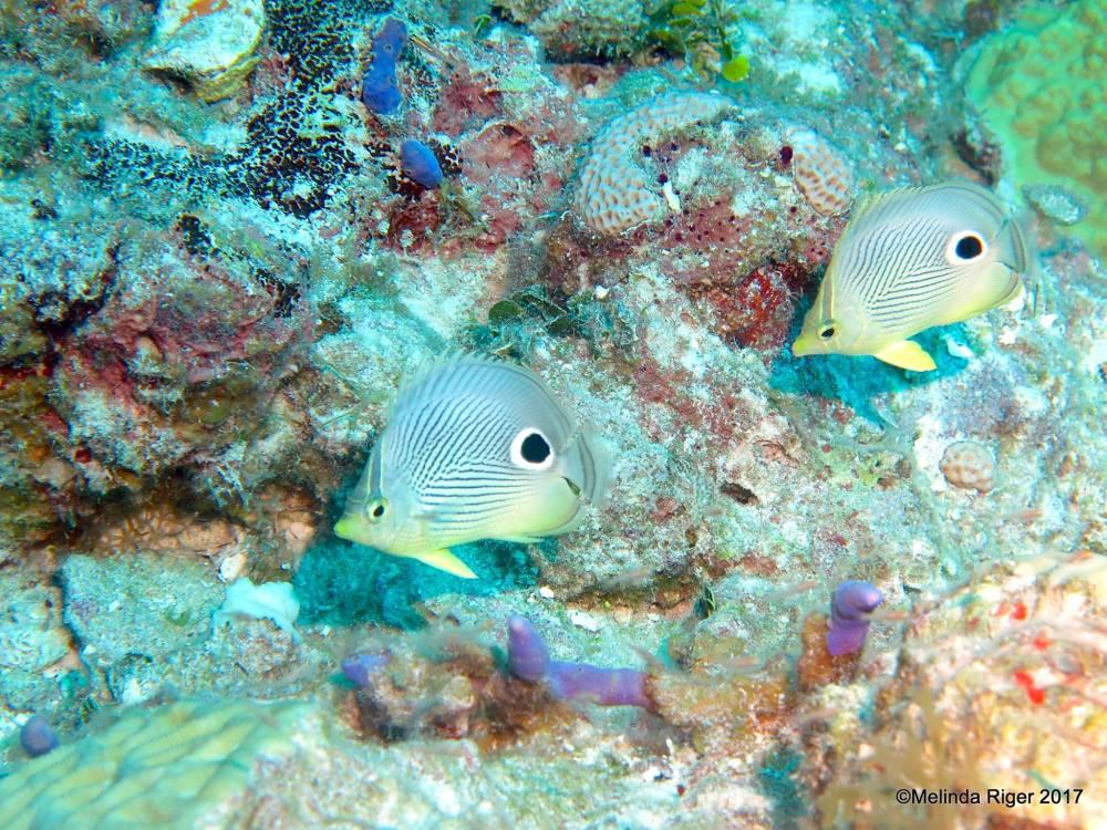 Four-eyed Butterflyfish, Bahamas (Melinda Riger / G B Scuba)