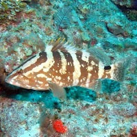 NASSAU GROUPER: ENDANGERED... AND PROTECTED