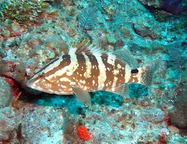 Nassau Grouper (Melinda Riger / . Grand Bahama Scuba)