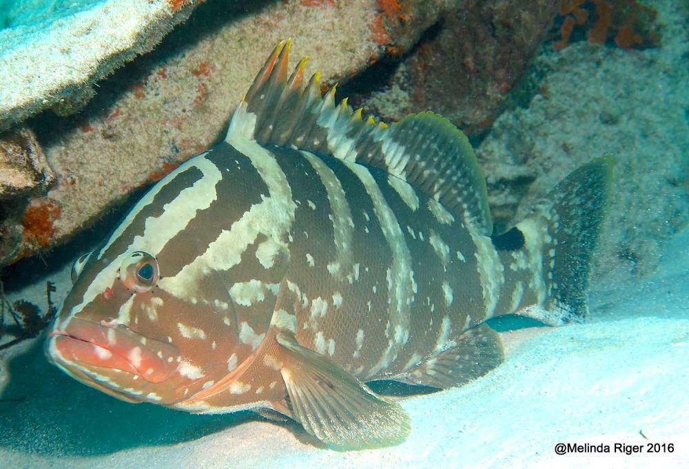 Nassau Grouper (Melinda Riger / Grand Bahamas Scuba)