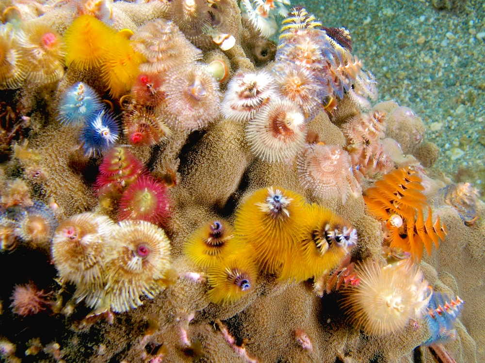 Christmas Tree Worms (Neil Hobgood Wiki)