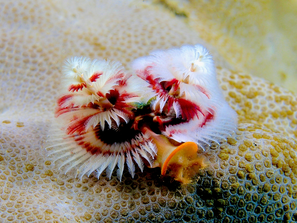 Christmas Tree Worm (Neil Hobgood Wiki)