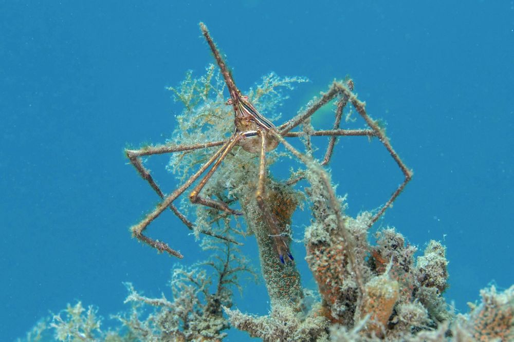 Arrow Crab (Adam Rees)