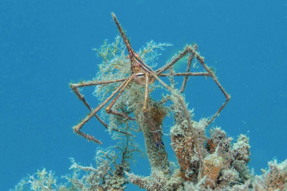 Arrow Crab (Adam Rees)