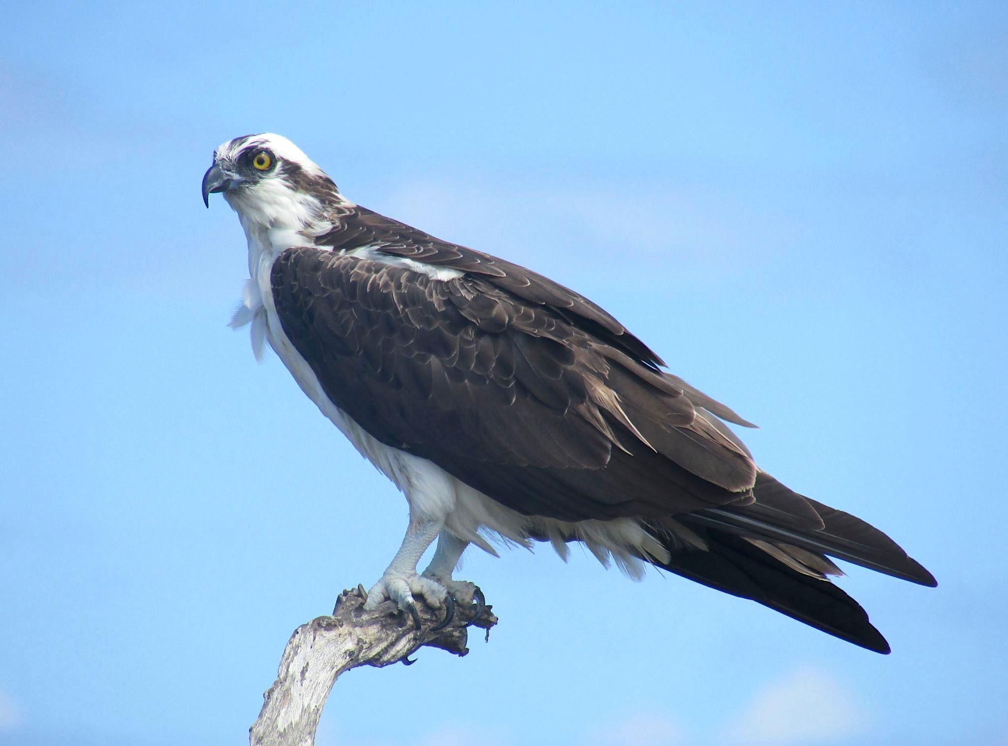 Osprey P.h.carolinensis (CWFNJ)