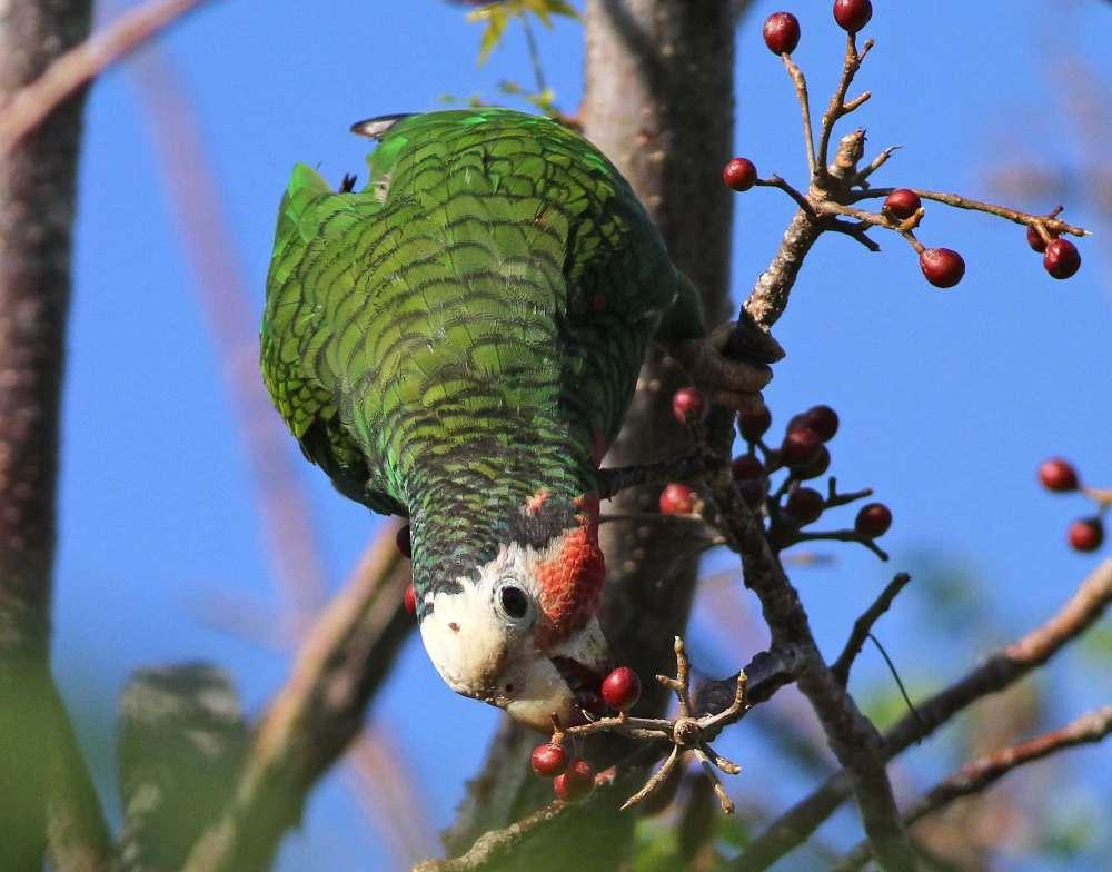 Abaco (Cuban) Parrot, Bahamas (Gerlinde Taurer)