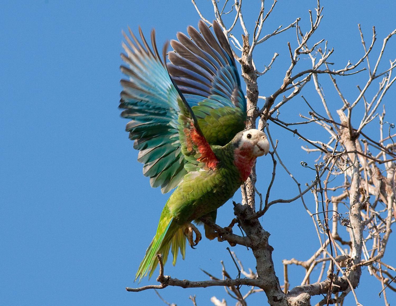 Abaco (Cuban) Parrot, Bahamas (Craig Nash)