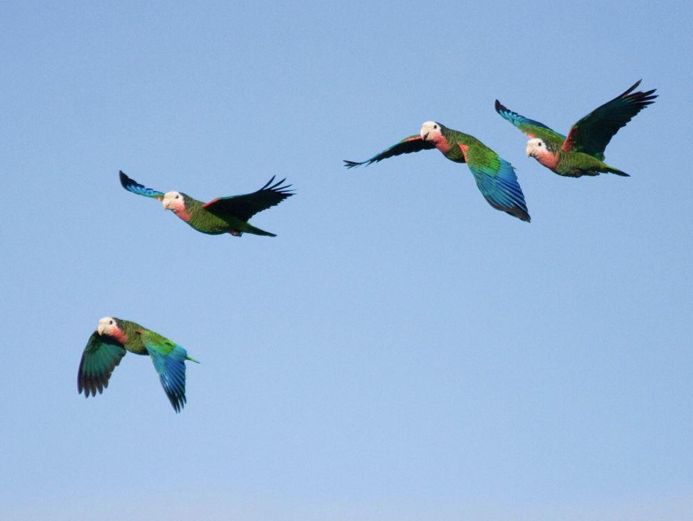 Abaco (Cuban) Parrot, Bahamas (Erik Gauger)