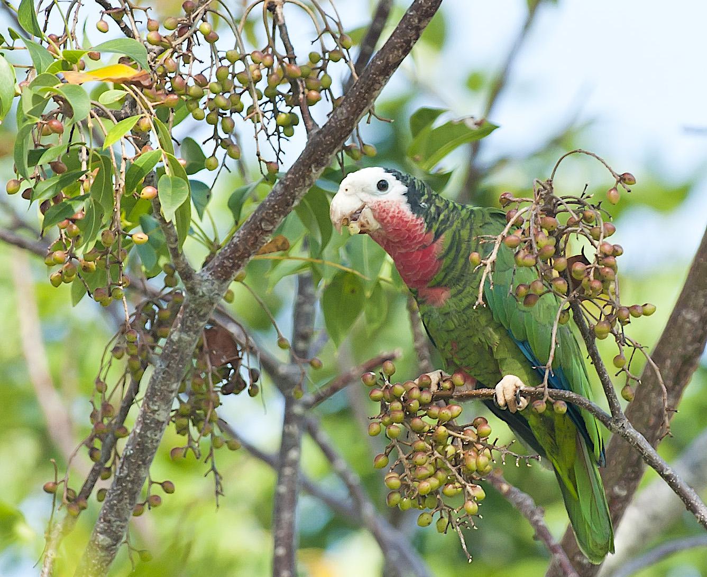 Abaco (Cuban) Parrot, Bahamas (Tom Sheley)