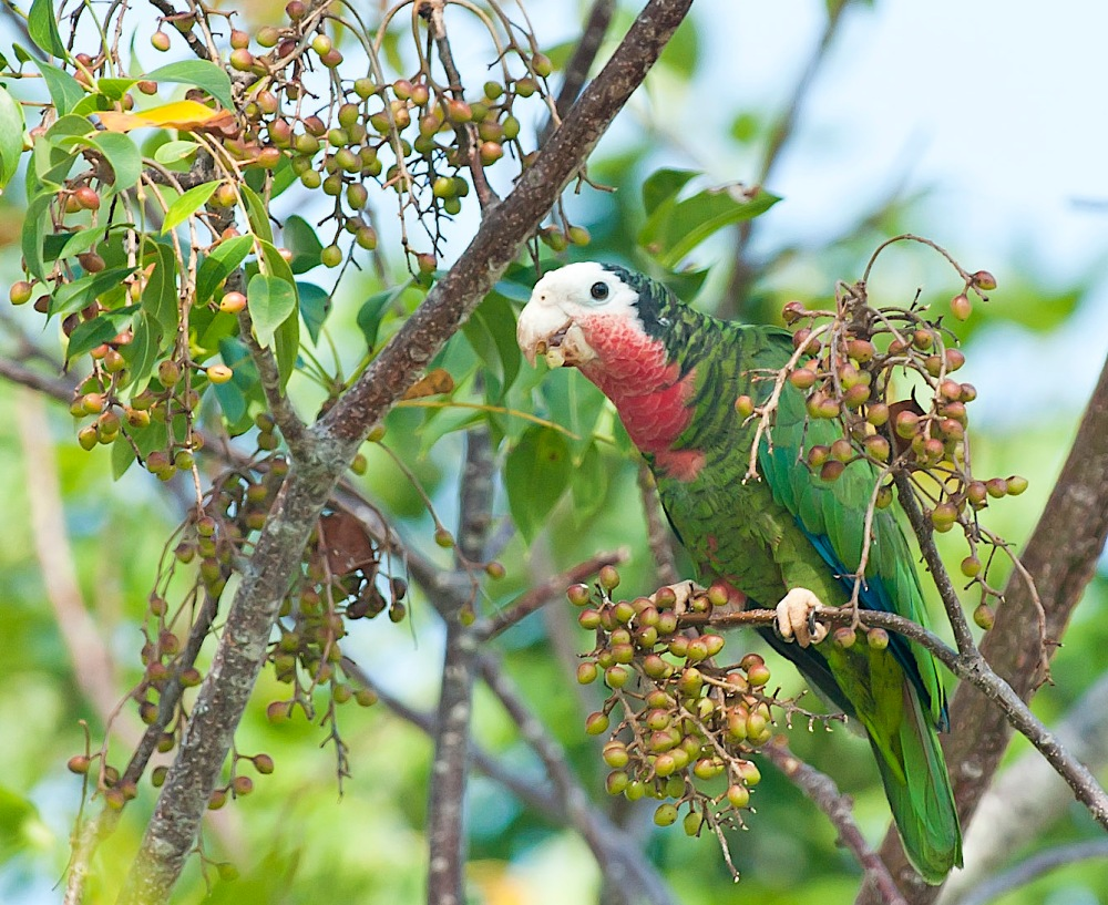 Abaco (Cuban) Parrot, Bahamas (Tom Sheley)