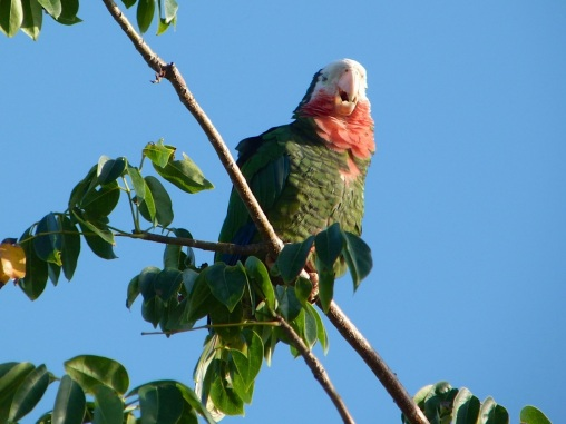 Abaco Parrot (Amazona lecocephala bahamensis) - Keith Salvesen