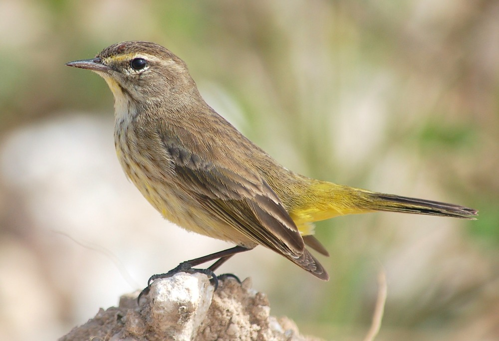 Palm Warbler, Abaco Bahamas (Bruce Hallett / Tom Sheley)