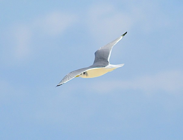 Black-legged Kittiwake (Keith Kemp)