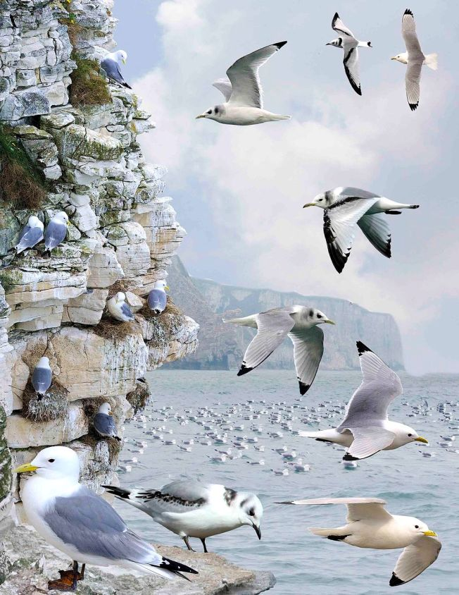 Kittiwakes (Crossley ID Guide Britain / Ireland)