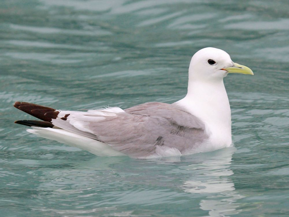 Black-legged Kittiwake (Dick Daniels / carolinabirds.org / Wiki