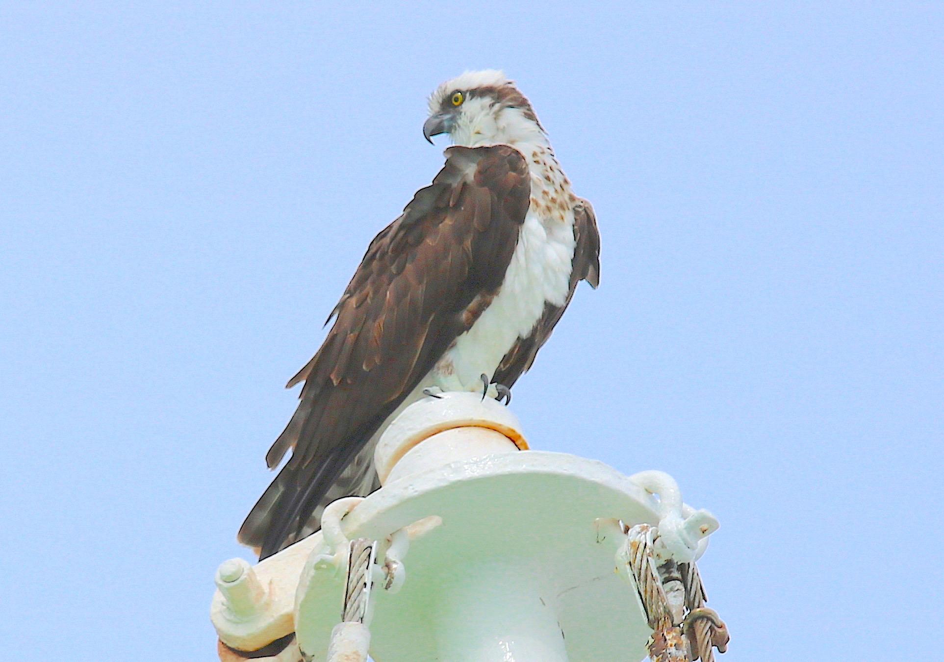 Osprey P.h. Carolinensis, Eleuthera Bahama (Barbara Crouchley)