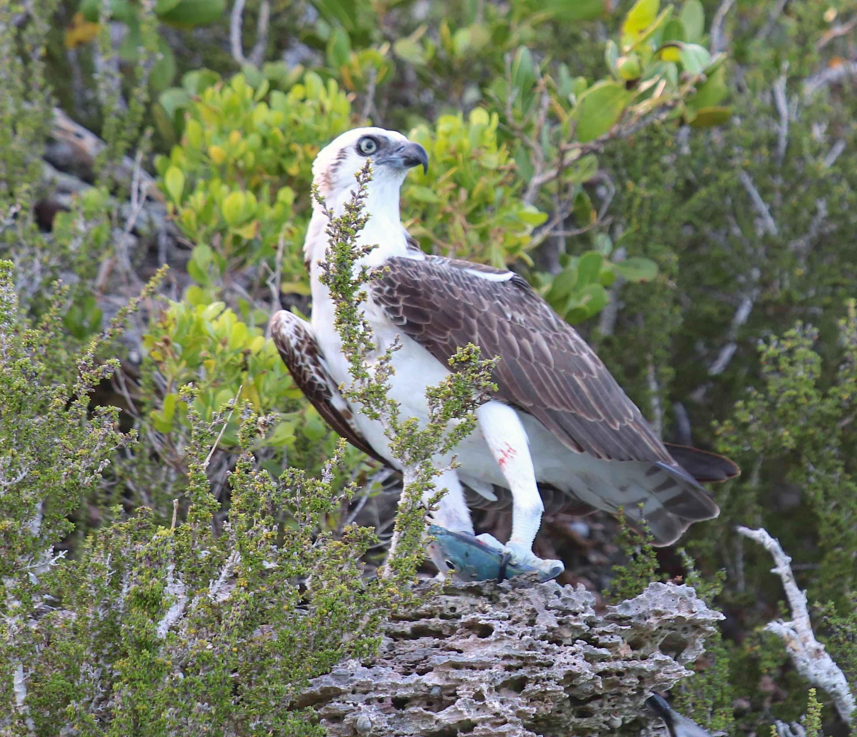 Osprey P.h. Ridgwayi, Eleuthera Bahama (Barbara Crouchley)