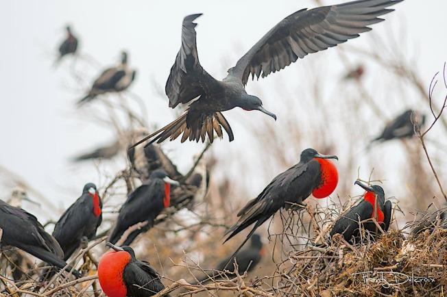 Magnificent Frigatebirds, Barbuda (Frantz Delcroix & Eric Delcroix)