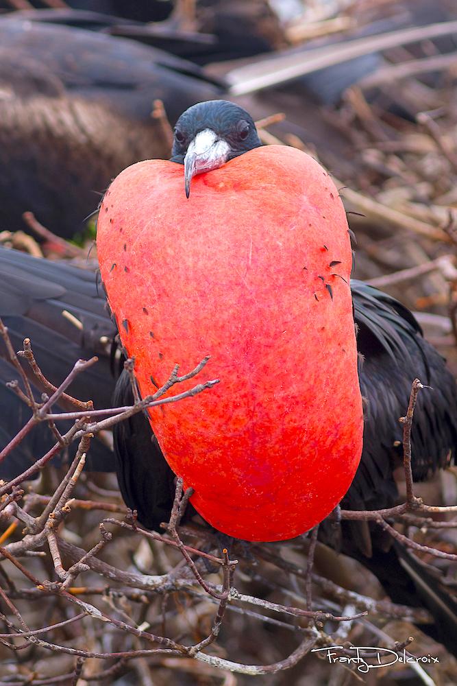 Frigate bird male, gular pouch /sac (Frantz Delcroix)