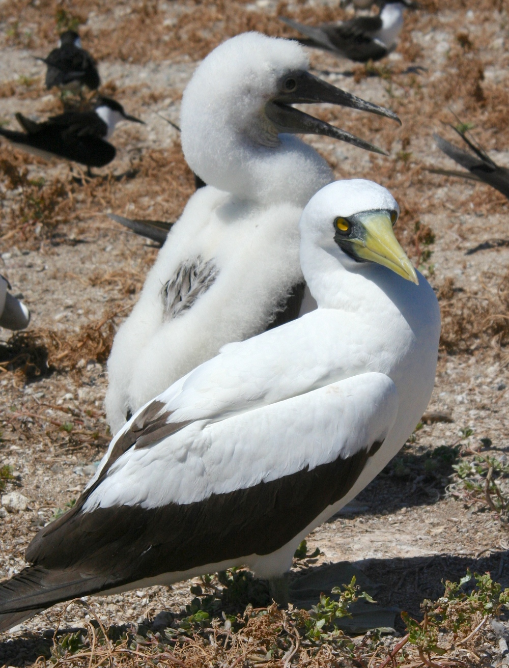 Masked Booby (Duncan Wright wiki)