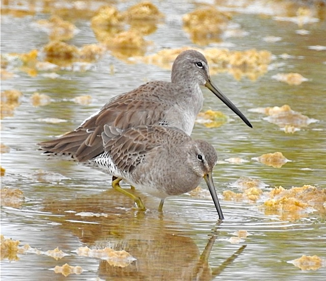 Short-billed Dowitcher Bahamas (Erika Gates)