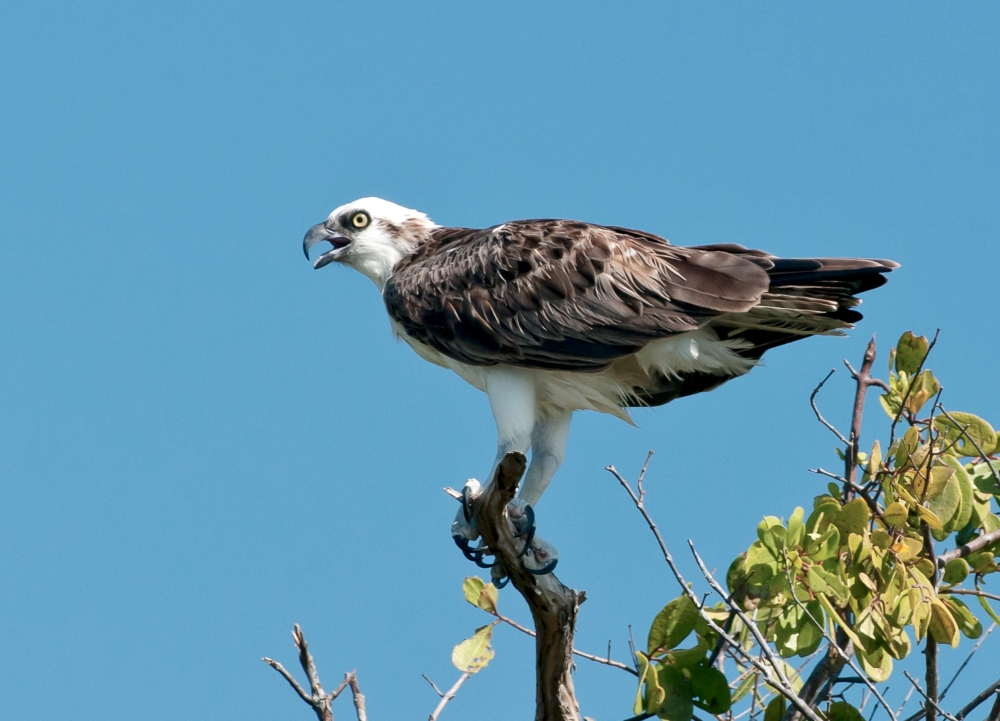 Osprey, Abaco Bahamas (Tom Sheley)