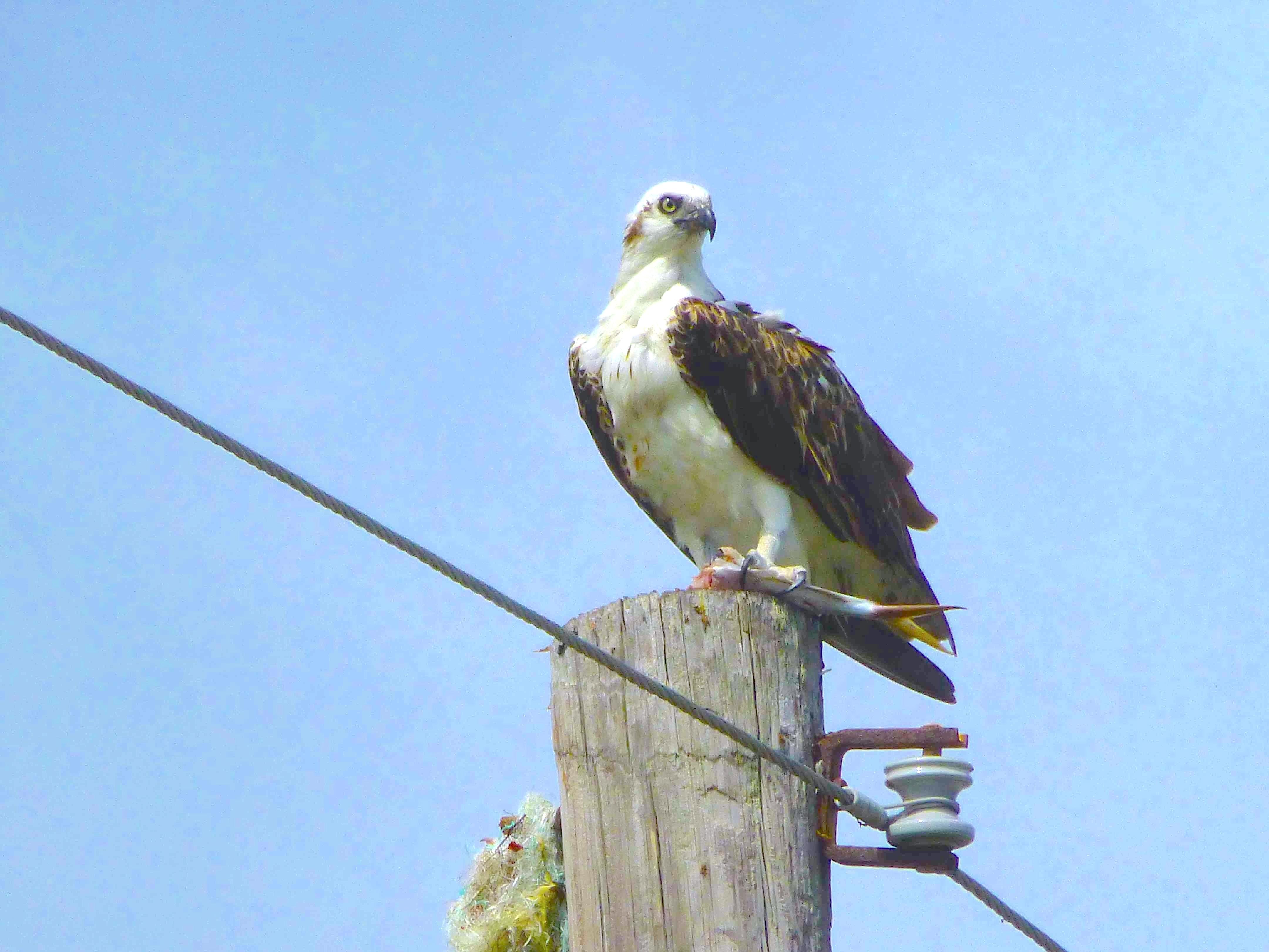 Osprey P.h. ridgwayi, Abaco (Woody Bracey)