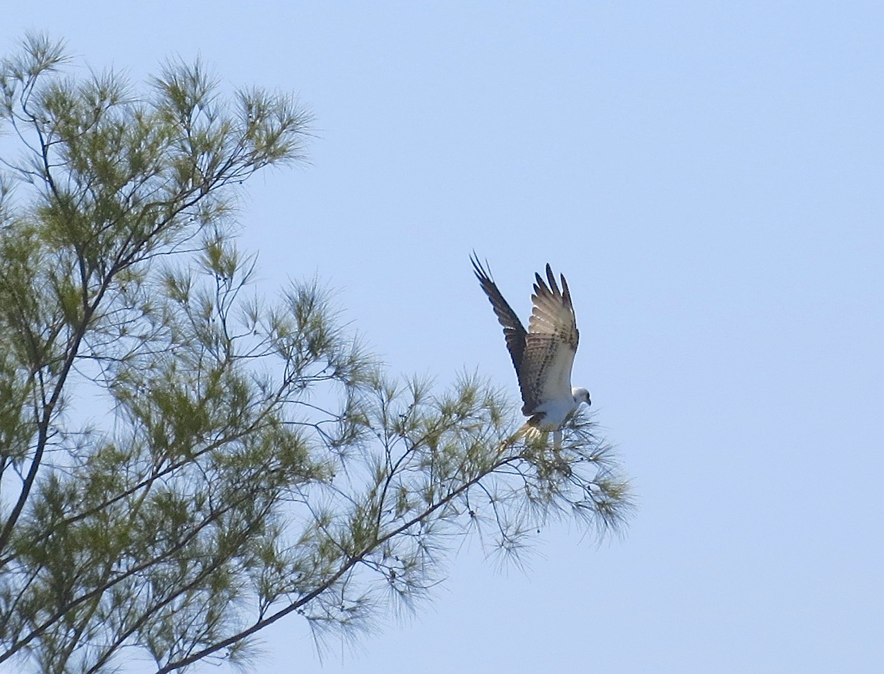 Osprey P.h. ridgwayi, Abaco Marls (Keith Salvesen)