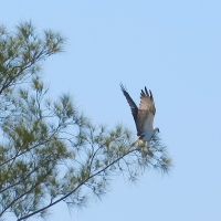 OSPREYS: ID GUIDE TO THE BAHAMAS SUBSPECIES