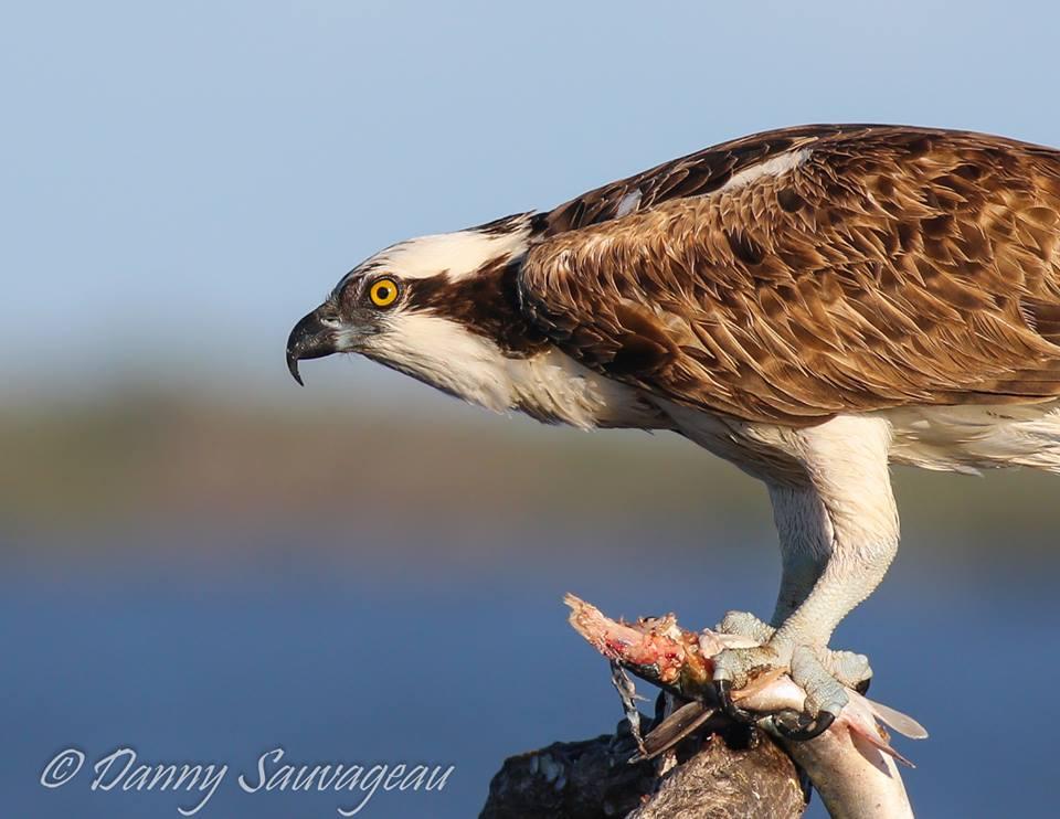 Osprey P.h. Carolinensis, Florida (Danny Sauvageau)