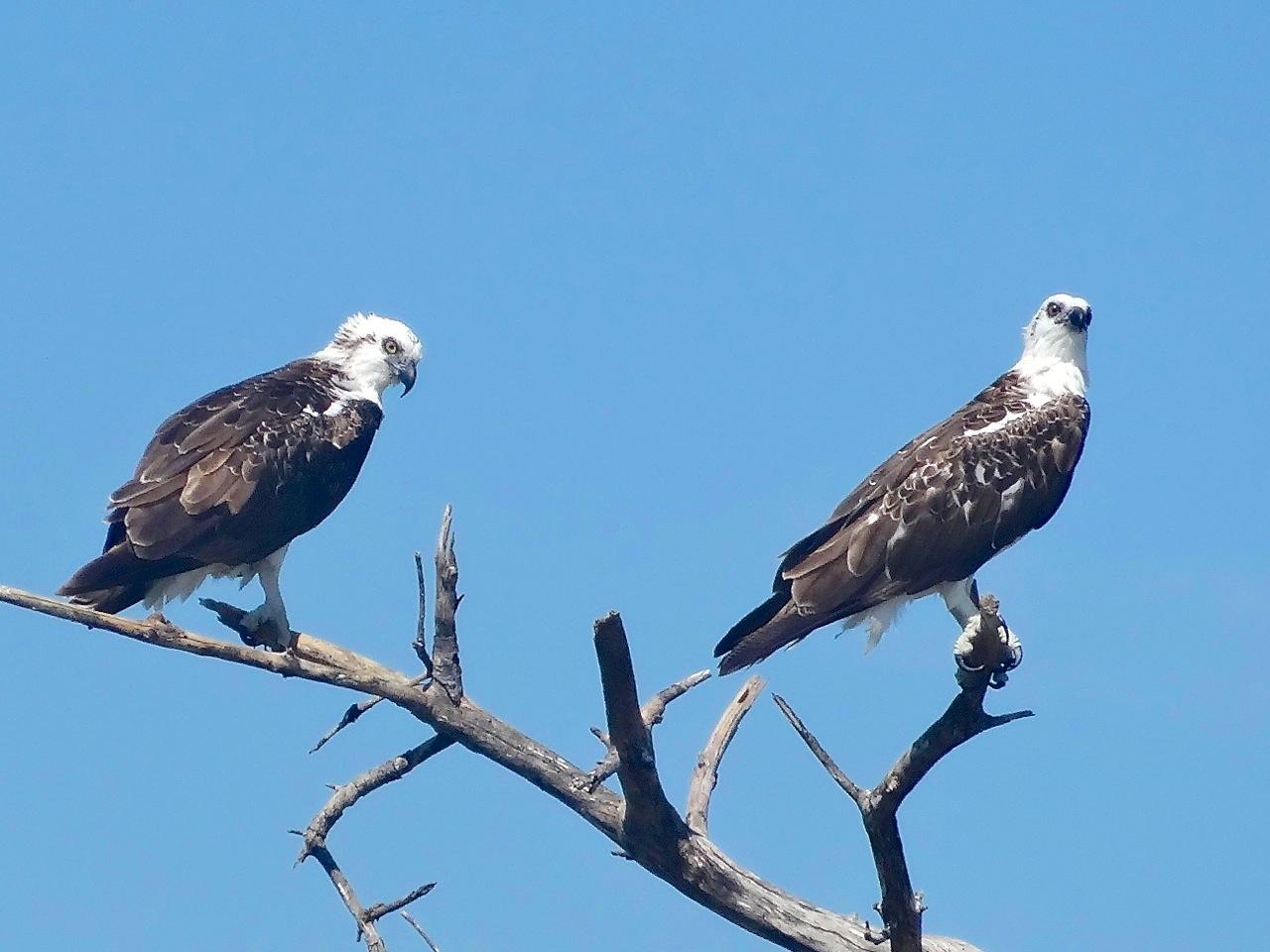 Osprey P.h. ridgwayi, Abaco (Jim Todd)