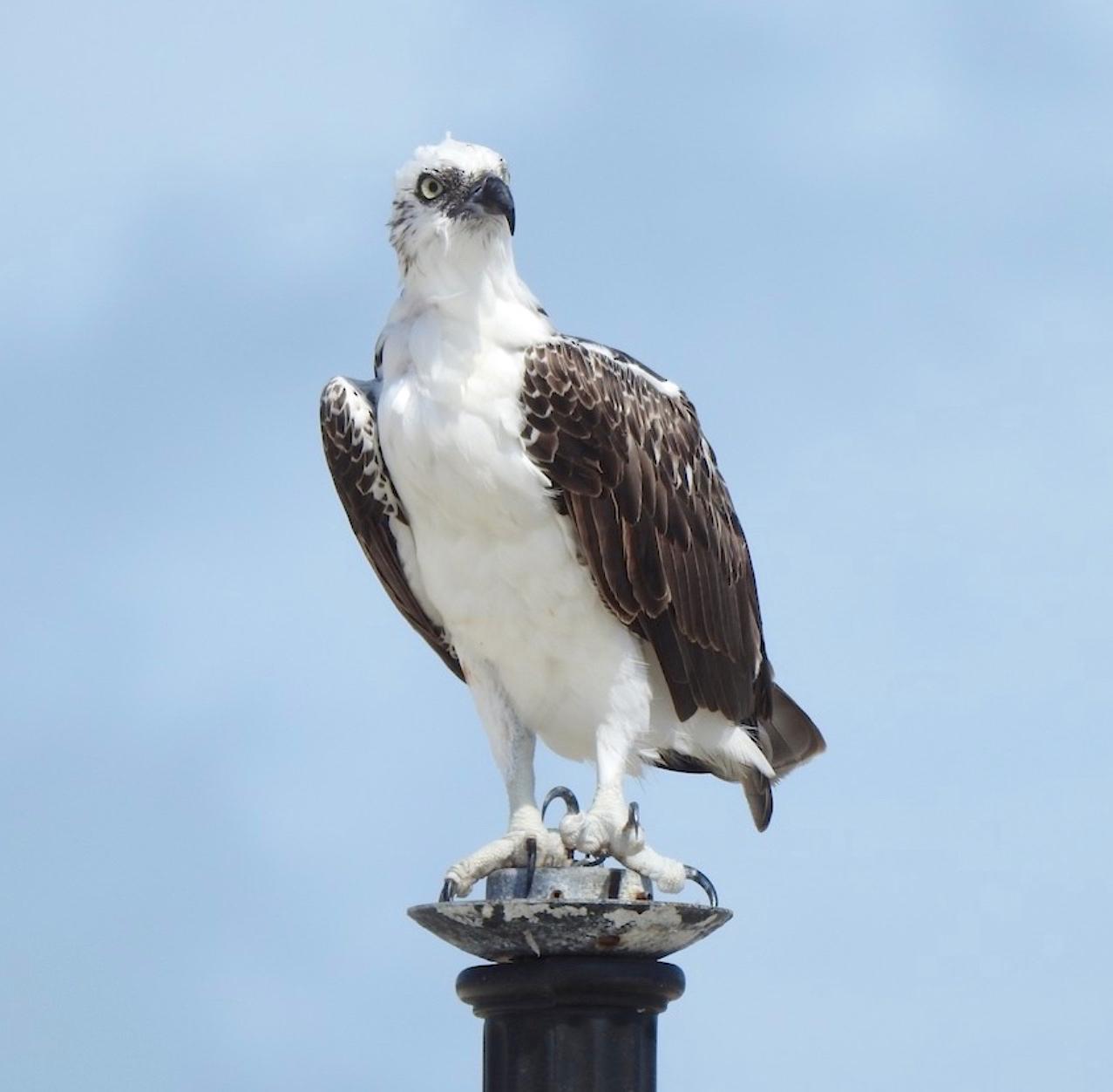 Osprey P.h. ridgwayi, Grand Bahama (Linda Barry Cooper)