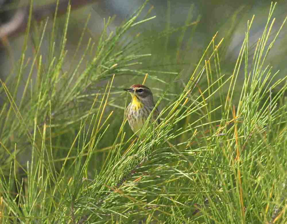 Palm Warbler, Abaco Bahamas (Peter Mantle)