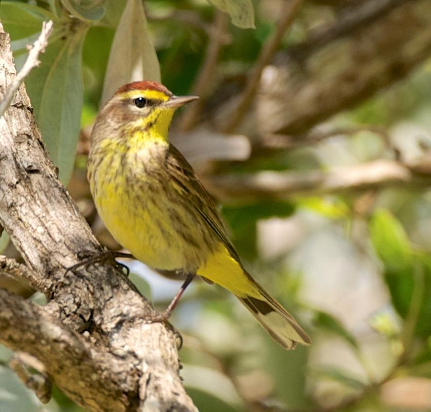 Palm Warbler, Abaco Bahamas (Nina Henry)