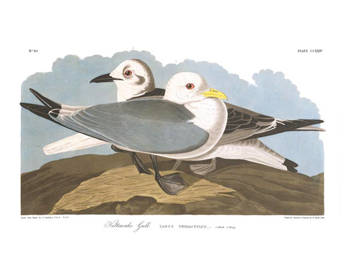 Black-legged Kittiwake (Audubon)