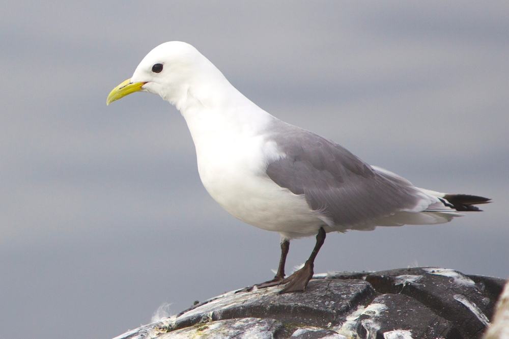Black-legged Kittiwake (Yathin S Krishnappa / Wiki)