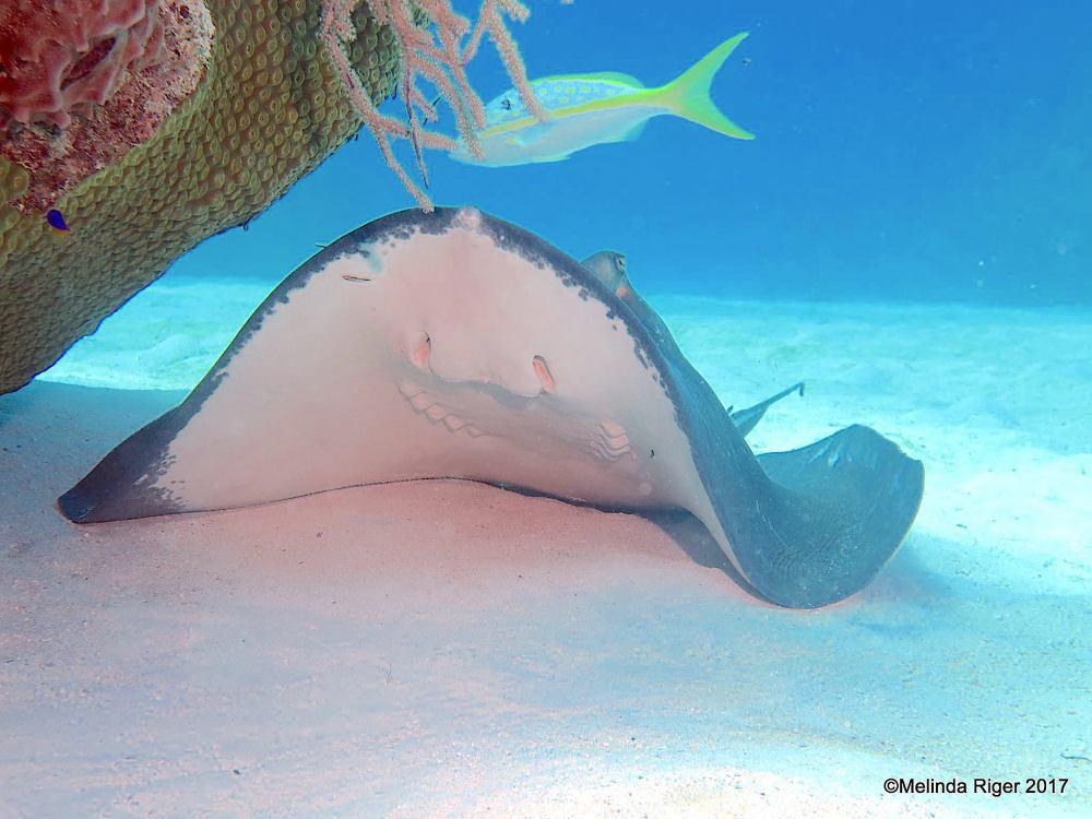 Southern Stingrays, Bahamas (Melinda Riger / Grand Bahama Scuba)