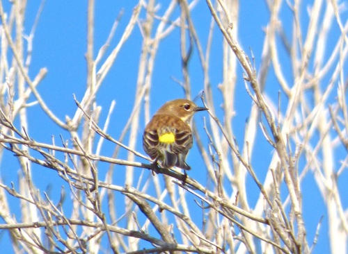 Yellow-rumped Warbler, Abaco, Bahamas (Keith Salvesen)