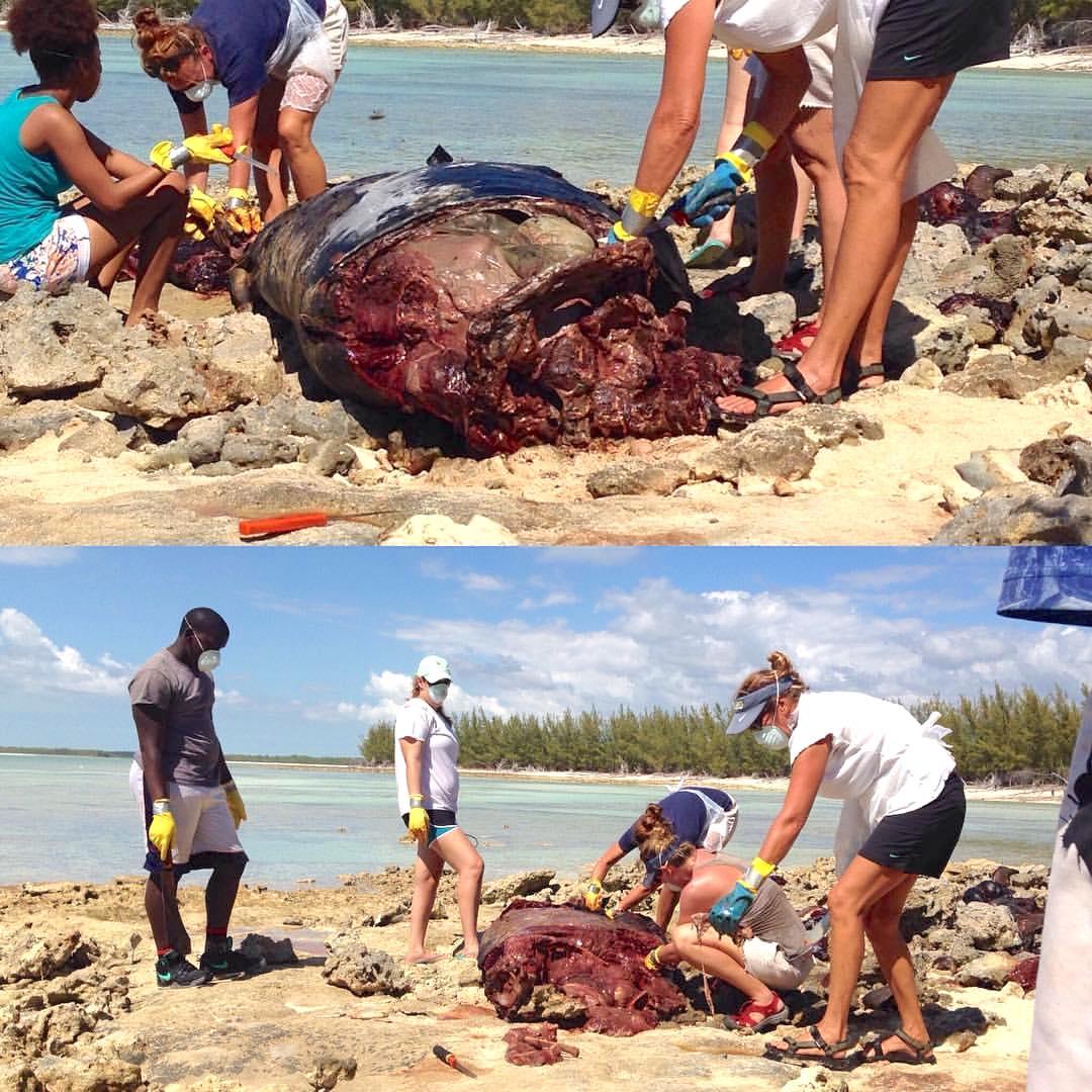False Killer Whale, Abaco Bahamas (BMMRO)