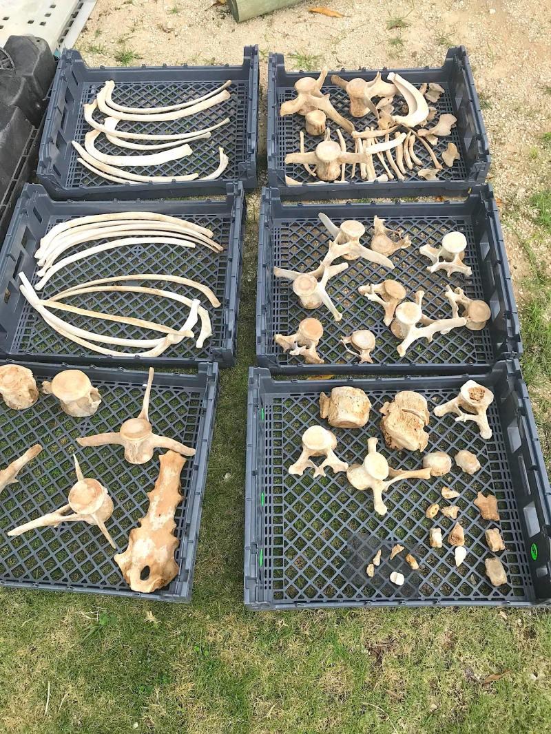 False Killer Whale bones, Abaco Bahamas (BMMRO)