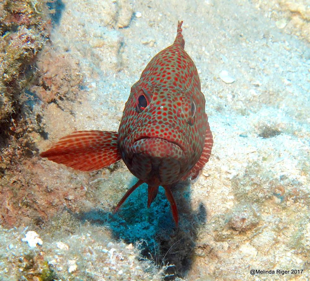 Graysby (grouper) - Melinda Riger / Grand Bahama Scuba