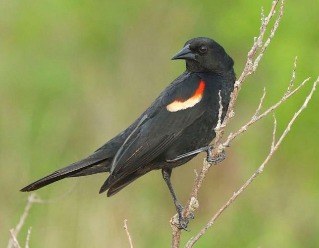 Red-winged Blackbird, Abaco (Tom Sheley)