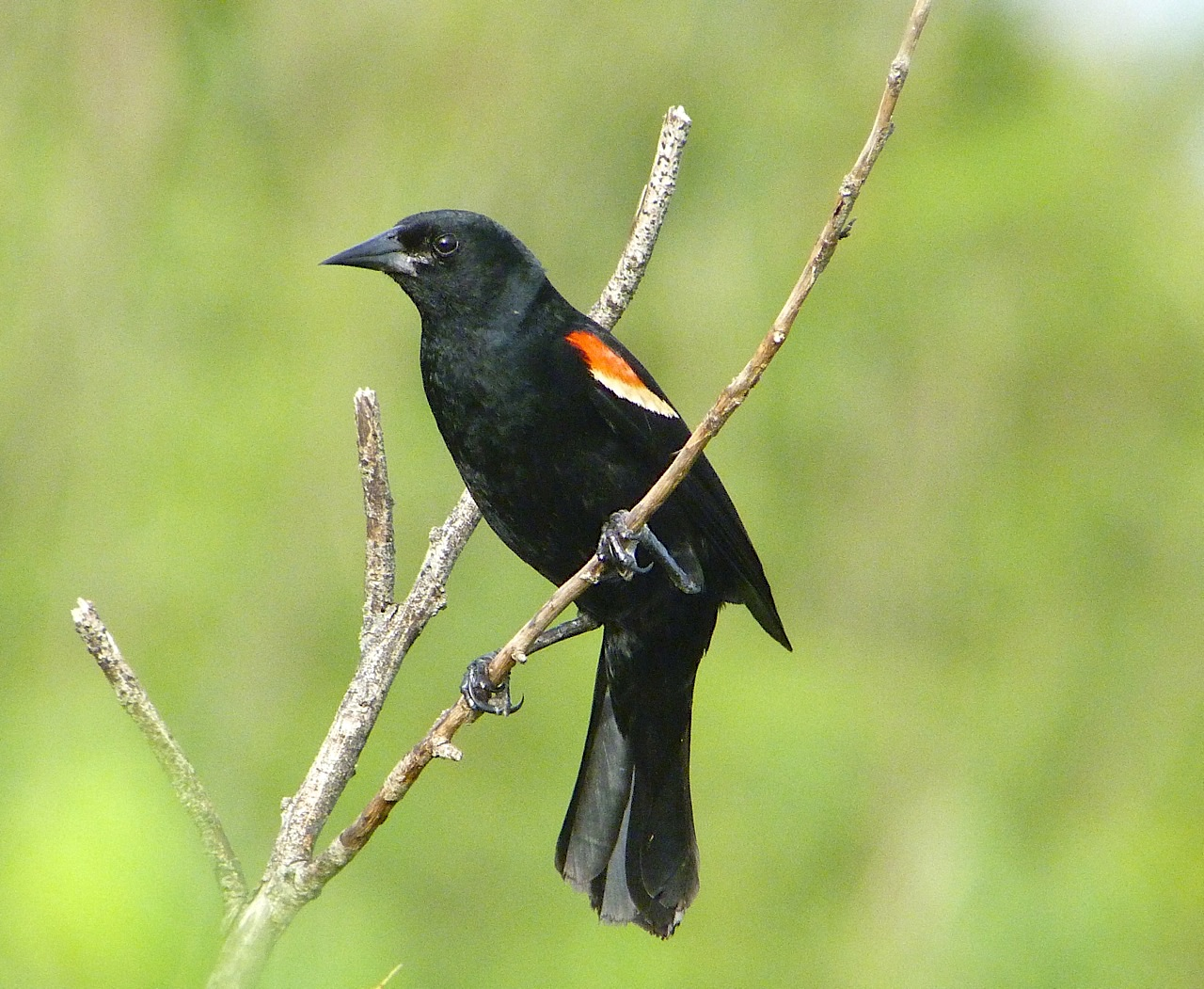 Red-winged Blackbird, Abaco (Keith Salvesen / Rolling Harbour)