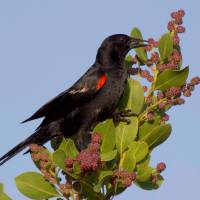 RED-WINGED BLACKBIRDS ON ABACO